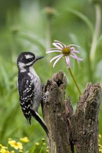 Hairy Woodpecker Female on Fence Post, Marion, Illinois, Usa by Richard ans Susan Day