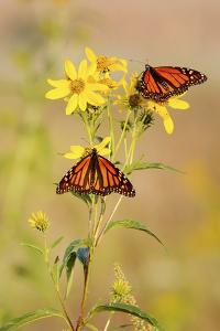 Monarch Butterflies, Prairie Ridge Sna, Marion, Illinois, Usa by Richard ans Susan Day