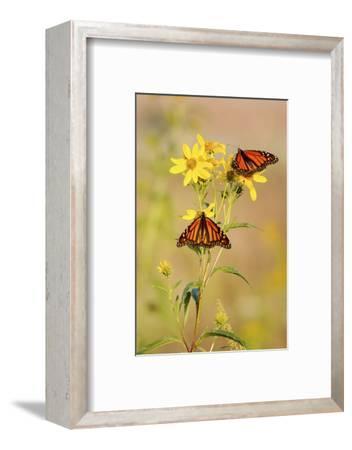 Monarch Butterflies, Prairie Ridge Sna, Marion, Illinois, Usa