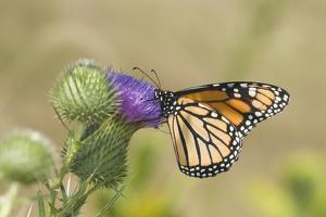 Monarch on Pasture Thistle, Prairie Ridge Sna, Marion, Illinois, Usa by Richard ans Susan Day