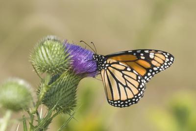 Monarch on Pasture Thistle, Prairie Ridge Sna, Marion, Illinois, Usa