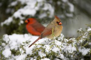 Northern Cardinal and on Keteleeri Juniper, Marion, Illinois, Usa by Richard ans Susan Day