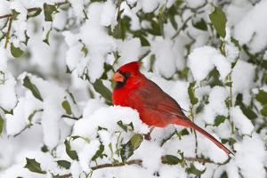 Northern Cardinal in American Holly in Winter, Marion, Illinois, Usa by Richard ans Susan Day