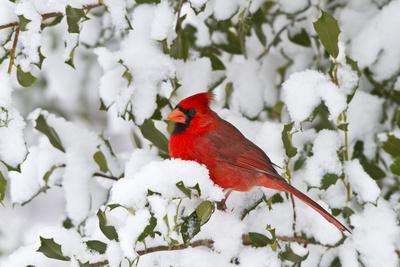 Northern Cardinal in American Holly in Winter, Marion, Illinois, Usa