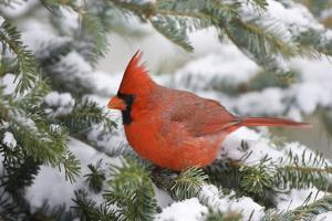 Northern Cardinal in Balsam Fir Tree in Winter, Marion, Illinois, Usa by Richard ans Susan Day