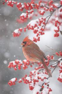 Northern Cardinal in Common Winterberry, Marion, Illinois, Usa by Richard ans Susan Day