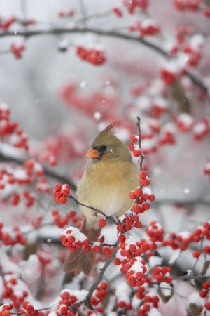 Northern Cardinal in Common Winterberry, Marion, Illinois, Usa