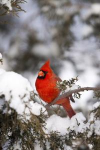 Northern Cardinal in Juniper Tree in Winter, Marion, Illinois, Usa by Richard ans Susan Day