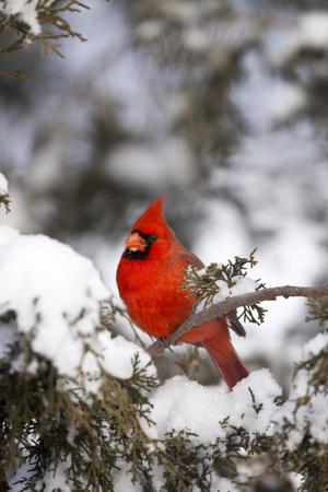 Northern Cardinal in Juniper Tree in Winter, Marion, Illinois, Usa
