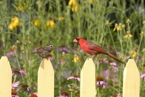 Northern Cardinal Male and Song Sparrow on Picket Fence, Illinois, Usa by Richard ans Susan Day
