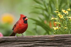 Northern Cardinal Male on Fence, Marion, Illinois, Usa by Richard ans Susan Day