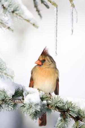 Northern Cardinal on Blue Atlas Cedar in Winter, Marion, Illinois, Usa