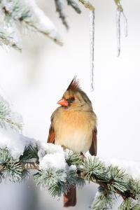 Northern Cardinal on Blue Atlas Cedar in Winter, Marion, Illinois, Usa by Richard ans Susan Day