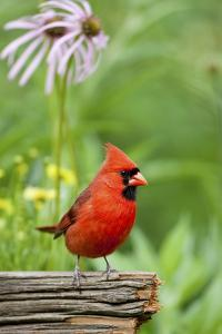 Northern Cardinal on Fence Post by Coneflowers, Marion, Illinois, Usa by Richard ans Susan Day