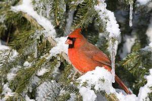 Northern Cardinal on Serbian Spruce in Winter, Marion, Illinois, Usa by Richard ans Susan Day