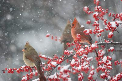 Northern Cardinals in Common Winterberry, Marion, Illinois, Usa
