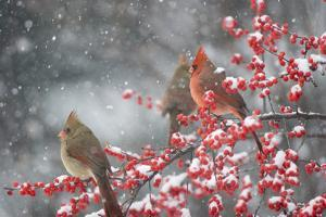 Northern Cardinals in Common Winterberry, Marion, Illinois, Usa by Richard ans Susan Day