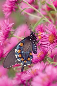 Pipevine Swallowtail on New England Aster, Marion Co. Il by Richard ans Susan Day
