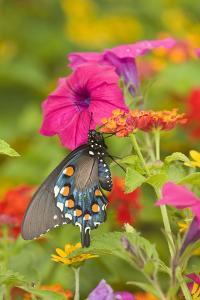 Pipevine Swallowtail on Red Spread Lantana, Marion Co. Il by Richard ans Susan Day
