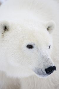 Polar Bear, Churchill, Mb Canada by Richard ans Susan Day