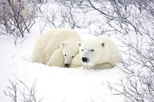 Polar Bears, Female and Cub, Churchill Wildlife Area, Manitoba, Canada by Richard ans Susan Day