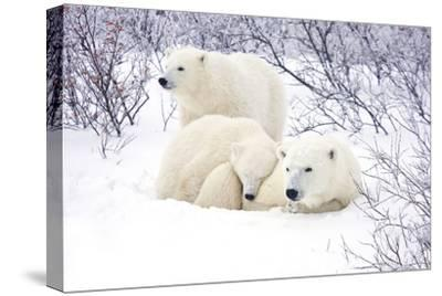 Polar Bears, Female and Two Cubs, Churchill Wildlife Area, Mb