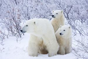 Polar Bears, Female and Two Cubs, Churchill Wildlife Area, Mb by Richard ans Susan Day