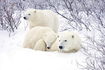 Polar Bears, Female and Two Cubs, Churchill Wildlife Area, Mb