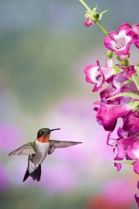 Ruby-Throated Hummingbird at a Penstemon. Marion, Illinois, Usa by Richard ans Susan Day