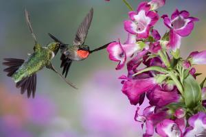 Ruby-Throated Hummingbirds at a Penstemon. Marion, Illinois, Usa by Richard ans Susan Day
