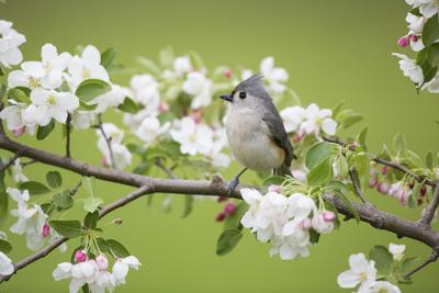 Tufted Titmouse in Crabapple Tree in Spring. Marion, Illinois, Usa