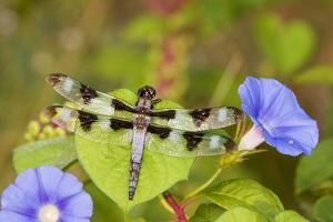 Twelve-Spotted Skimmer Male Perched on Morning Glory, Marion Co. Il by Richard ans Susan Day