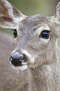 White-Tailed Deer Doe Drinking Water Starr, Texas, Usa by Richard ans Susan Day