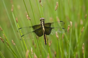 Widow Skimmer Female, Marion Co. Il by Richard ans Susan Day