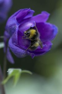 Close of Delphinium and Bee by Richard Bryant