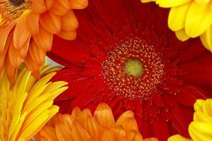 Close up of a gerbera by Richard Bryant