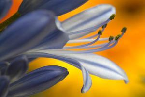 Close up of Agapanthus. by Richard Bryant