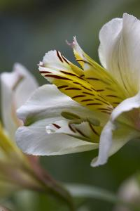 Close up of Alstromaria. by Richard Bryant