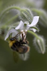 Close Up of Borage-Borago Officinalis and a Bee by Richard Bryant