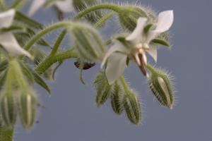 Close up of Borage-Borago Officinalis. by Richard Bryant