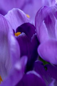 Close Up of Crocus by Richard Bryant