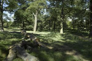 Sunlight Filtereing Through Trees in Richmond Park, Richmond, Surrey, London by Richard Bryant