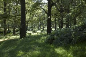 Sunlight Filtering Through Trees in Richmond Park, Richmond, Surrey, London by Richard Bryant