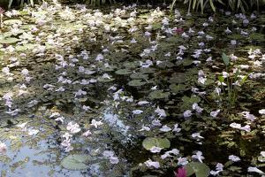 Waterlilies by Richard Bryant