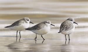 Sanderlings by Richard Clifton