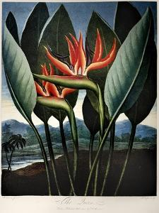 Thornton: Strelitzia by Richard Cooper the Younger