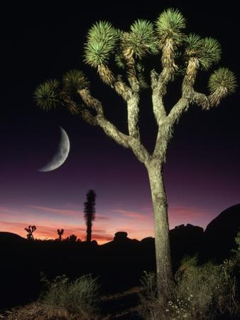 Crescent Moon and Joshua Tree by Richard Cummins