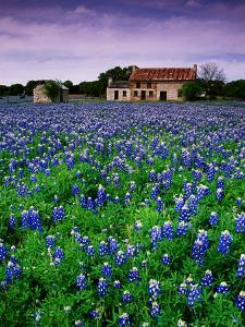Field of Blubonnets, Marble Hill Area, Texas by Richard Cummins