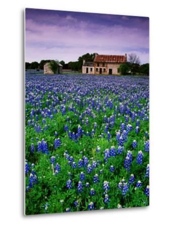 Field of Blubonnets, Marble Hill Area, Texas