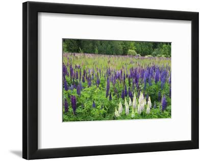 Field of Wild Lupines, Tacoma, Washington State, United States of America, North America